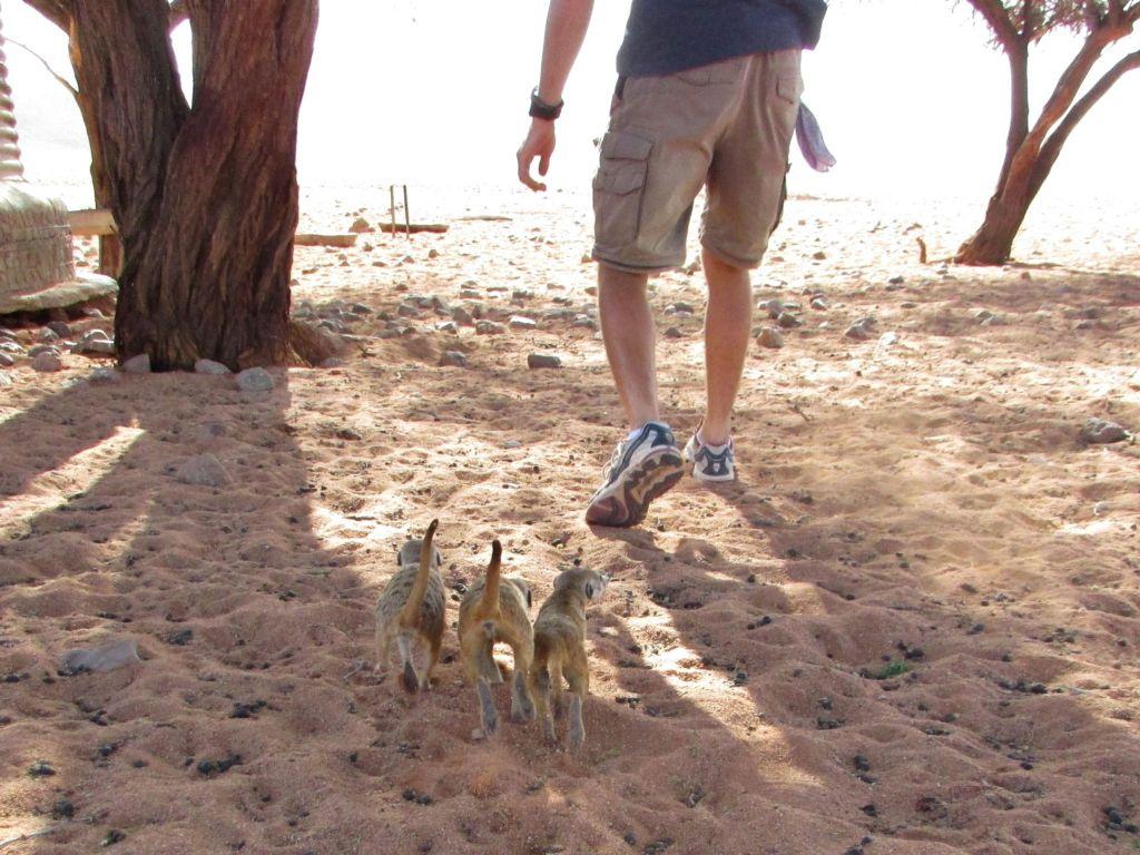 IMG 0532 1 1024x768 Returning Meerkats to the wild
