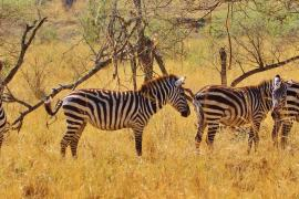zebra 278371 1920 min Volunteer in Tanzania | The Ultimate Guide