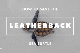 How to Save the Leatherback Sea Turtle feature min How to Save the Leatherback Sea Turtle