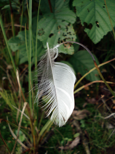 There was a feather stuck on a lone blade of grass in the marshy area.