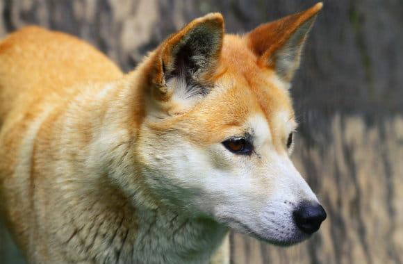 wild dog in Australia
