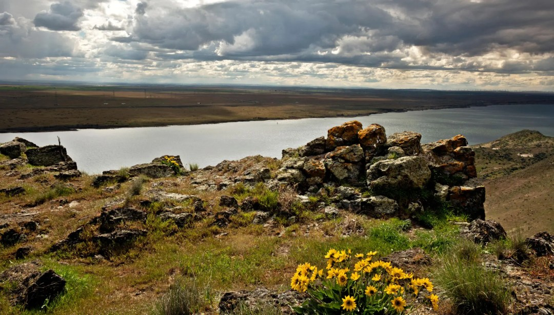 Balsamroot at the summit of Crow Butte Park on the Columbia River