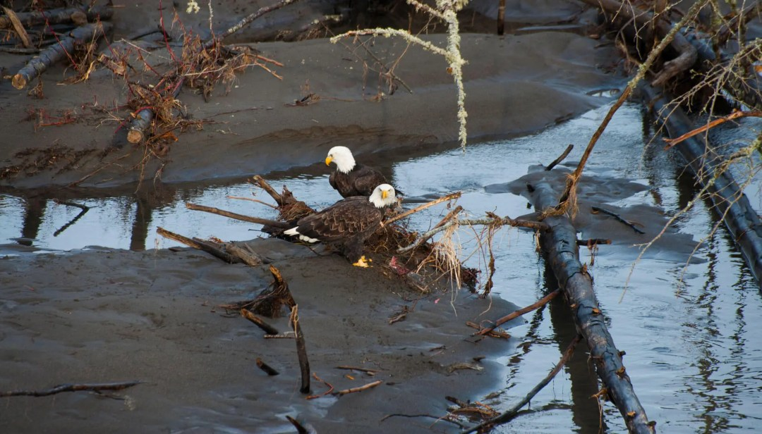 Bald Eagles near the Nooksack River
