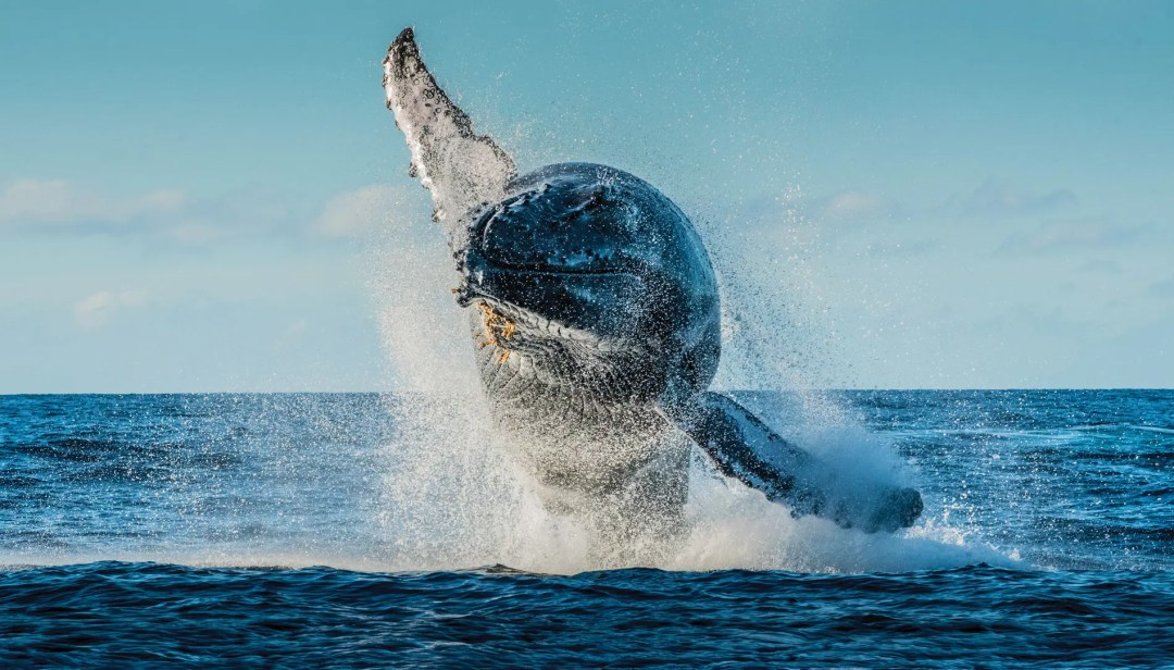 A humpback whale breaches (jumps out of the water)near Maui's Lahaina Harbor