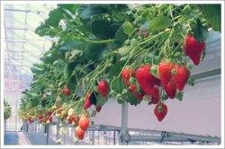 お腹いっぱい苺を食べてください!