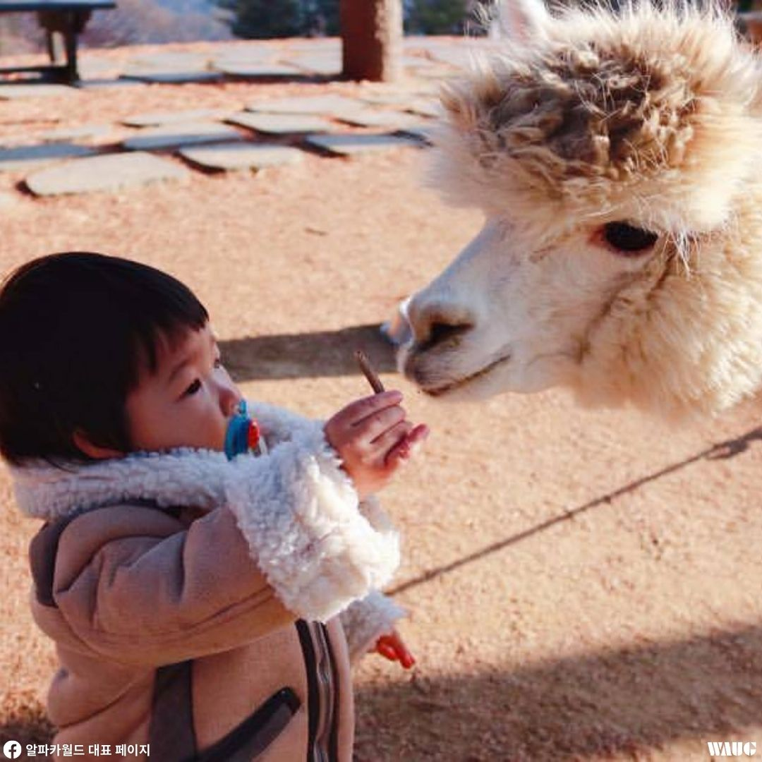 alpaca-world-korea-blog