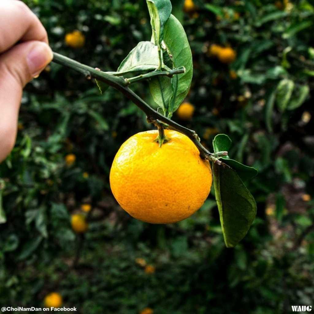 jeju fruit picking winter