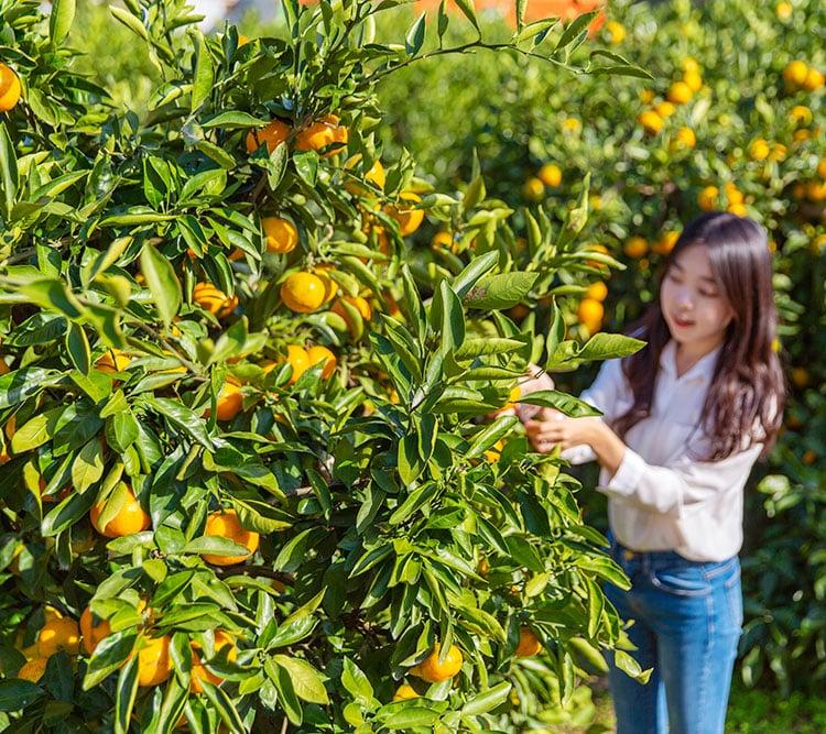jeju orange picking