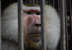 baboon behind bars