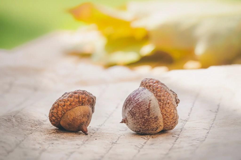 acorns to make flour