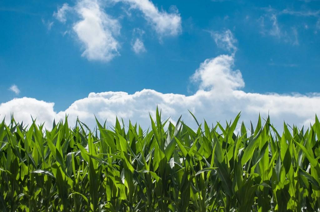 corn to make flour