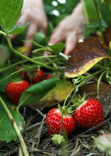 Gardening: quick and easy strawberries