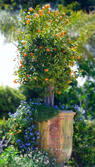 anduze pots with orange tree