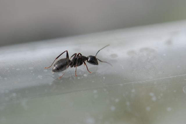 A Flying Ant