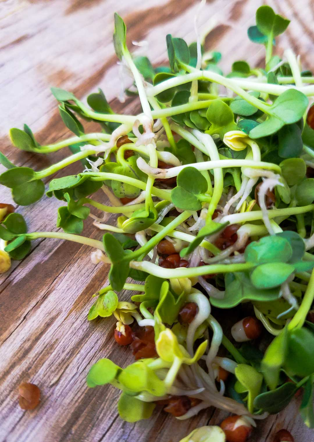 How To Sprout Radish Seeds | My mother called them mermaid hair... We never had a shortage of mermaid hair (aka alfalfa sprouts) in the fridge. Sprouts, essentially a micro-green, are insanely nutritious. Learn to grow your own, and you never have to be without healthy greens! | WildernessFamilyNaturals.com