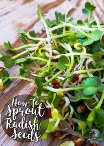 How To Sprout Radish Seeds