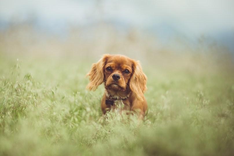 chien dans un champ
