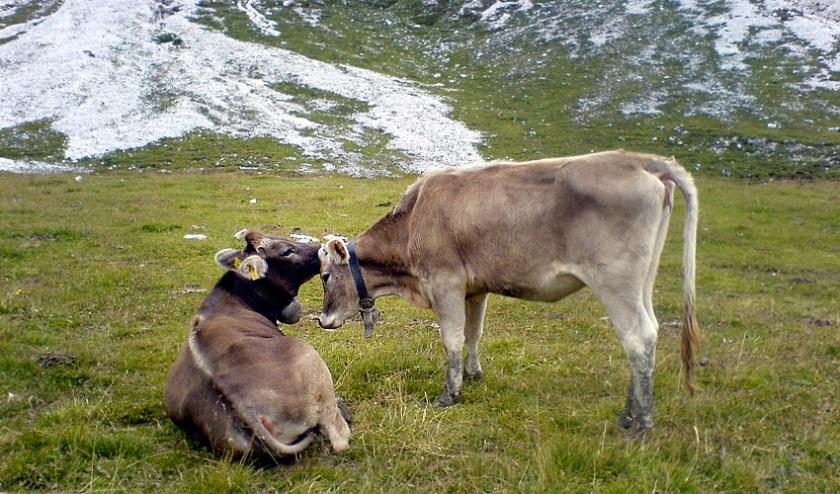 Küssende Kühe