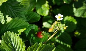 erdbeere-wiesergut-hinterglemm