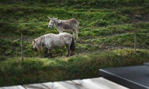 esel-pony-wiesergut