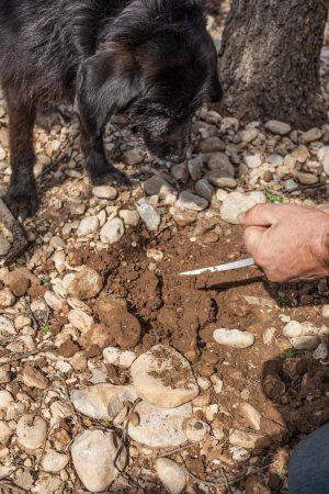 trueffelhund