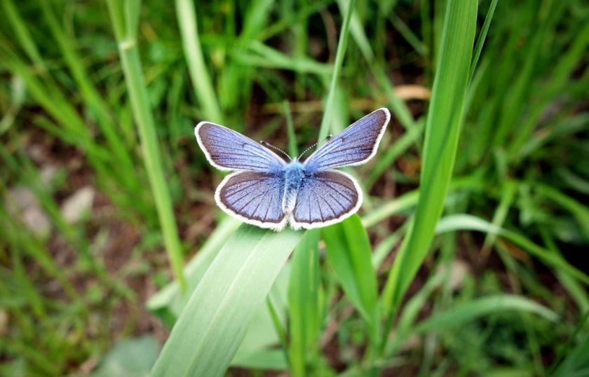 falter-blau-vigiljoch