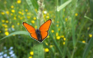 falter-vigiljoch-orange