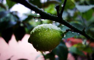 Limette nach dem Regen im Ottmanngut Meran