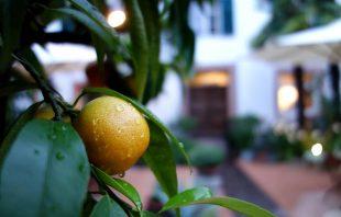 Zitrusfrüchte nach dem Regen im Ottmanngut Meran