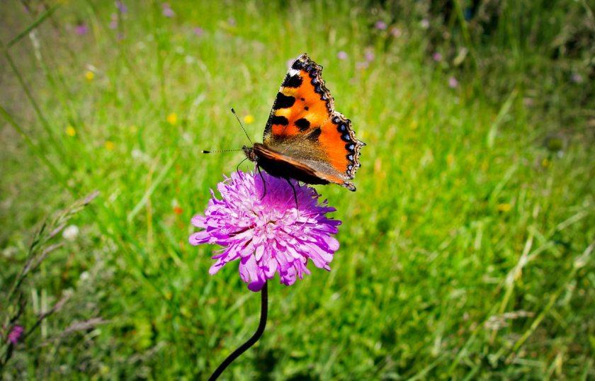Schmetterling Ultental Südtirol
