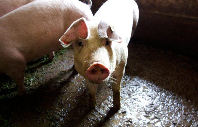 Schwein Unichhof Südtirol