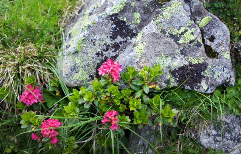 Almrosen in Tirol