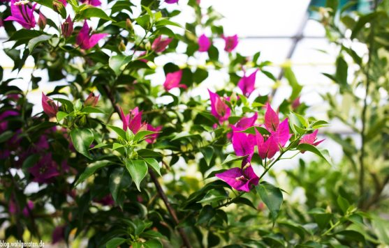 Blüten – Zitrusgarten – Faak am See
