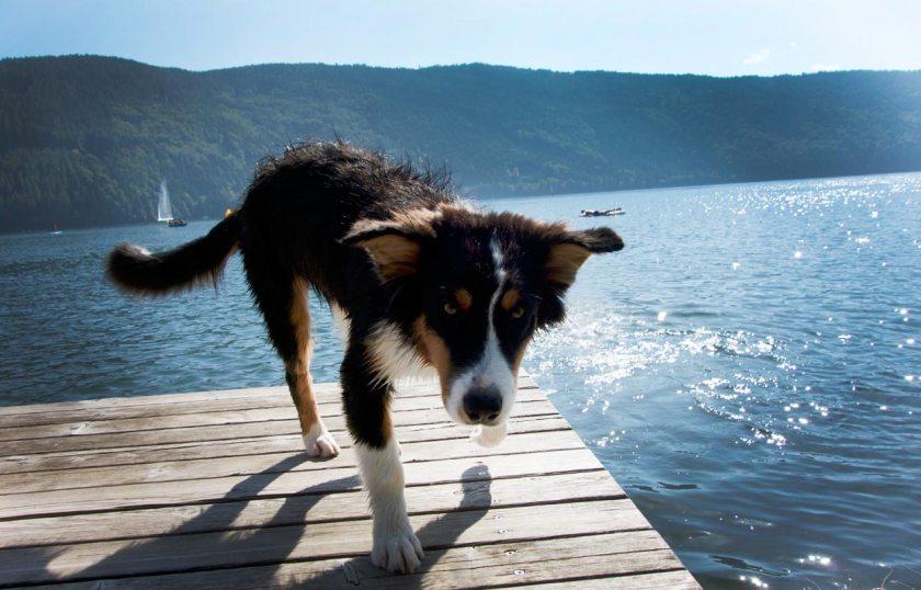 Hund am Millstätter See