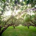 紅到中秋時節的香甜好滋味-柚子2