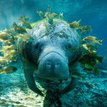 Wednesday Cute: The Majestic Manatee