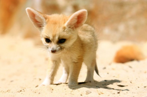 how to get a pet fennec fox