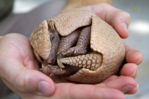 roly poly armadillo