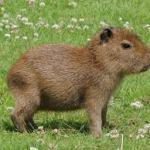 Wednesday Cute: Capybara Edition