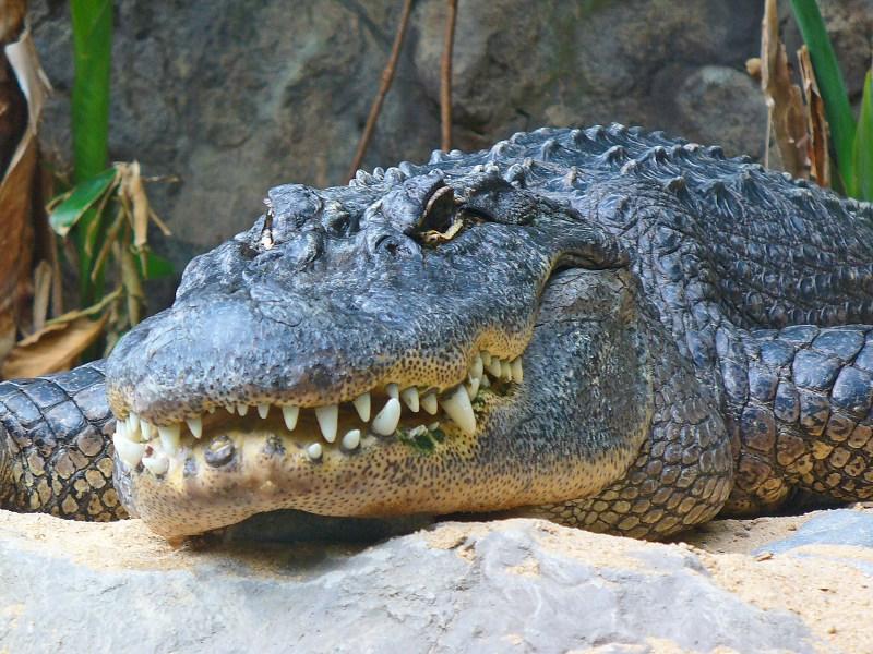 alligator_mississippiensis_01