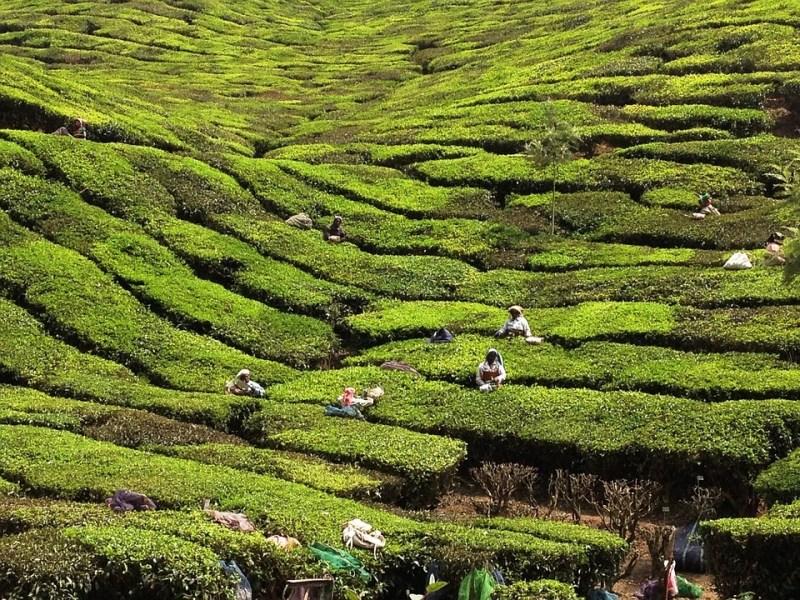 Kerala, India plantation