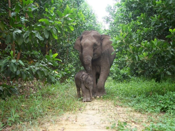 Sumatran elephant calf (Elephas maximus sumatrensis) Lisa and its mother from Tesso Nilo National Park, Riau, Indonesia.