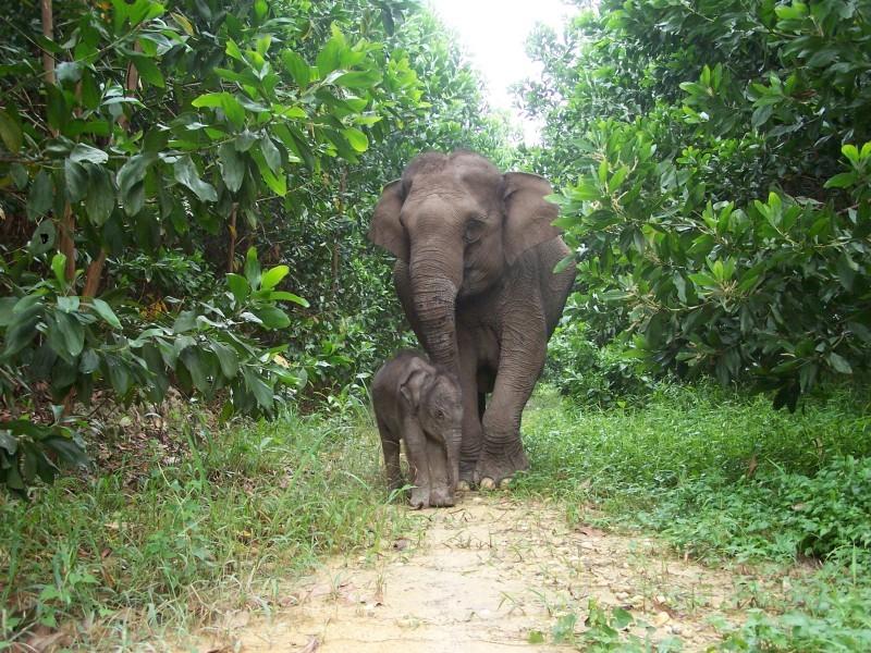 Sumatran elephant calf (Elephas maximus sumatrensis) Lisa and its mother from Tesso Nilo National Park, Riau, Indonesia.