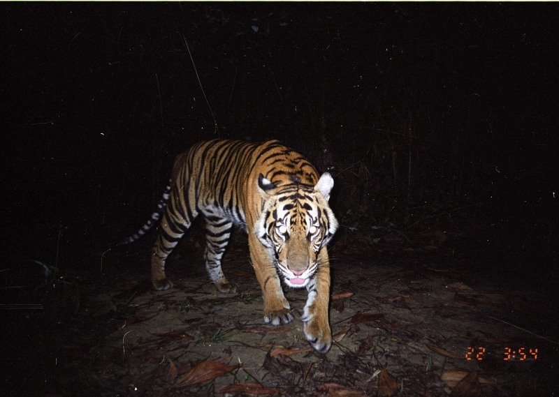 A young Sumatran tiger (Panthera tigris sumatrae) captured by camera trap in Tesso Nilo National Park, Riau, Indonesia. The Sumatran tiger is critically endangered with around 450 left in the wild. WWF scientists and field staff are using cameras equipped with infrared triggers, called camera traps, to obtain critical data about tigers and their habitats. Camera traps play a key role in understanding tiger range and estimating tiger populations, which then enables organisations like WWF to help to protect them.