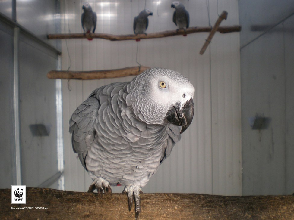 African Grey Parrots are popular pets, making them vulnerable to illegal trade