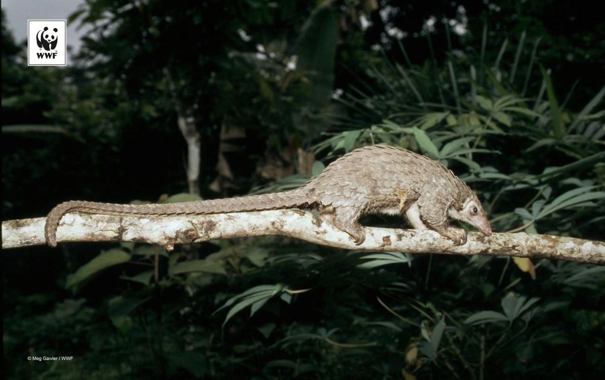 Manis tetradactyla Long-tailed pangolin Heavily hunted despite legal protection Minkébé National Park, Gabon