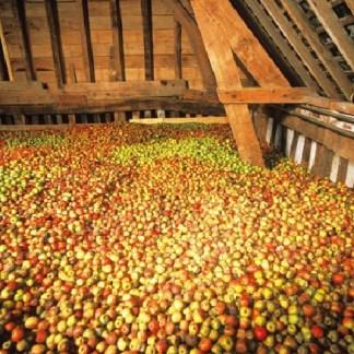 Deposito di mele per la produzione del sidro