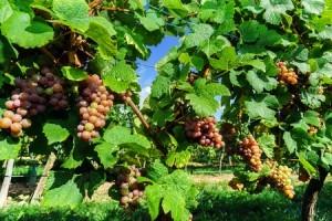 Gewürztraminertrauben im Elsass, hier färben sich die langsam reifenden Trauben gerade rot.