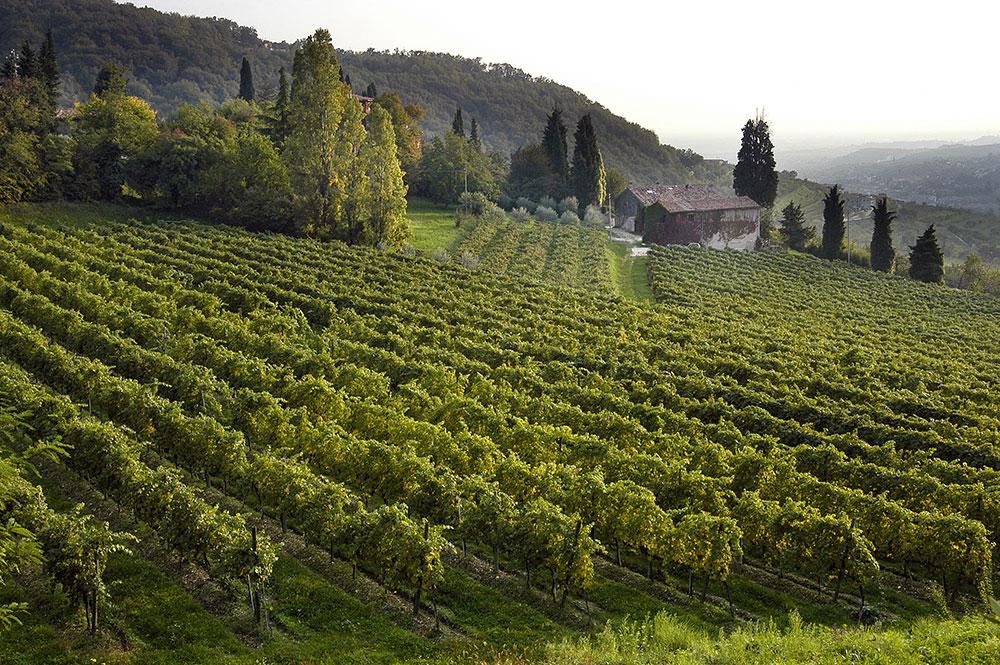 masi amarone vitigno