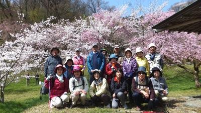 4百年の桜